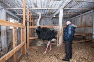 Немного экзотики: страусиная ферма как бизнес