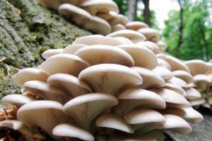 Бизнес на выращивании грибов (вешенка)