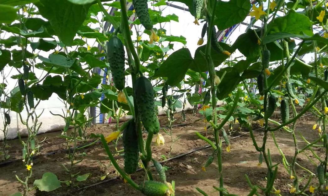 Выращивание огурцов как бизнес идея