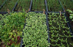 Бизнес на выращивании зелени в теплице