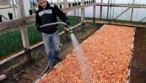 Выращивание лука как бизнес