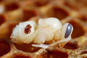 Варроатоз у пчёл