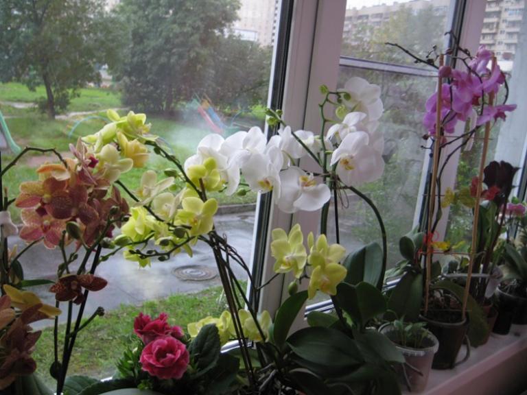 Фаленопсис разведение в домашних условиях