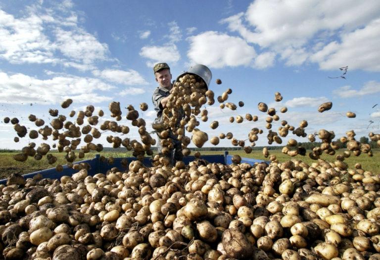 Как начать бизнес по выращиванию картофеля 42