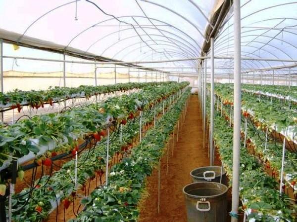 Выращивание клубники как бизнес.