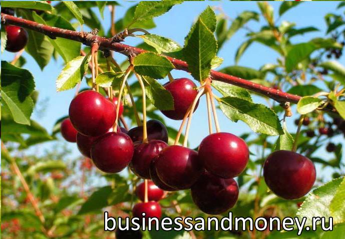 Вишневый сад бизнес план