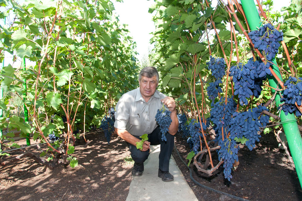 Выращивание винограда из года в год 94