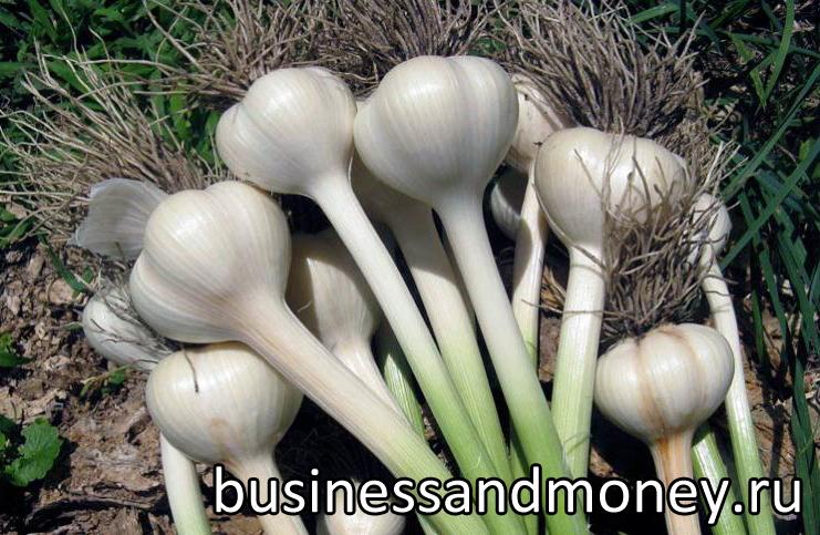biznes-na-vyrashhivanii-chesnoka
